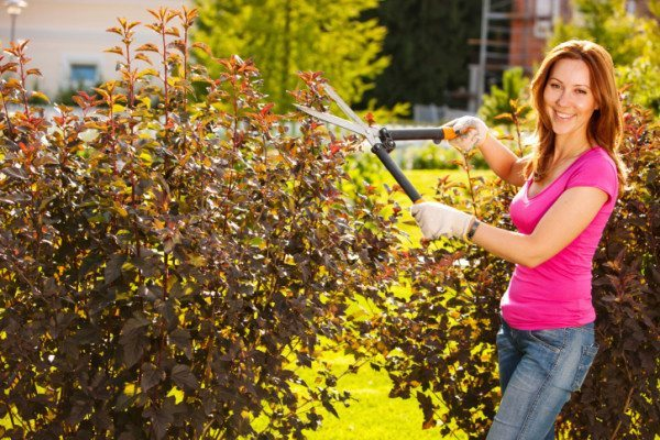 shaping hedges